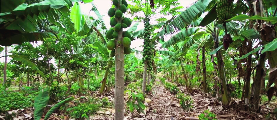 SINTROPIC AGRICULTURE : SOIL & RAINFOREST REGENERATION THAT GROWS FOOD!